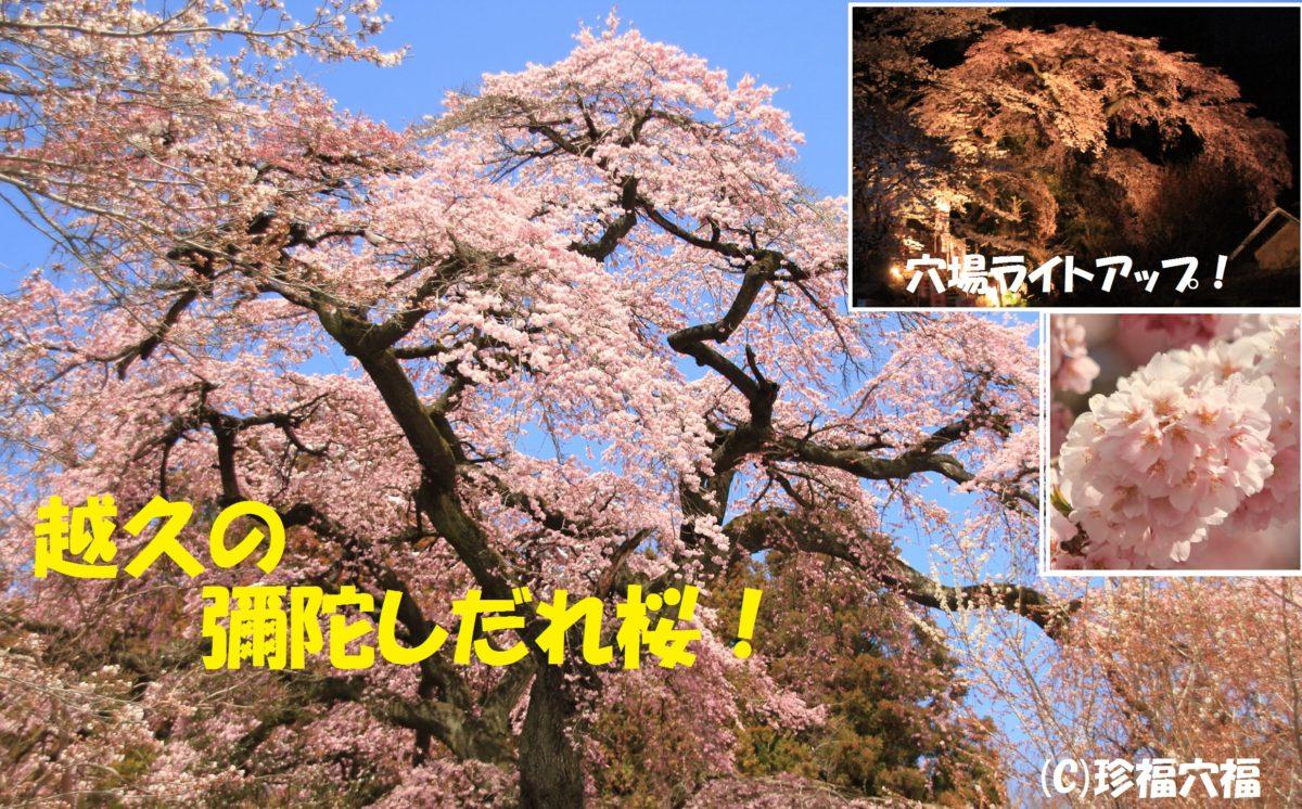 越久の彌陀しだれ桜【須賀川市穴場の桜、夜桜、ライトアップ】